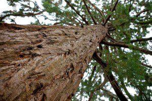 Cedar-Bark1-300x200